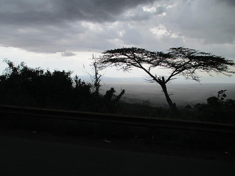 acaciatree